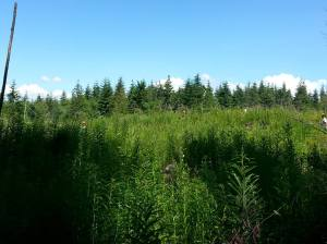 Brush grows fast in the clearcuts!